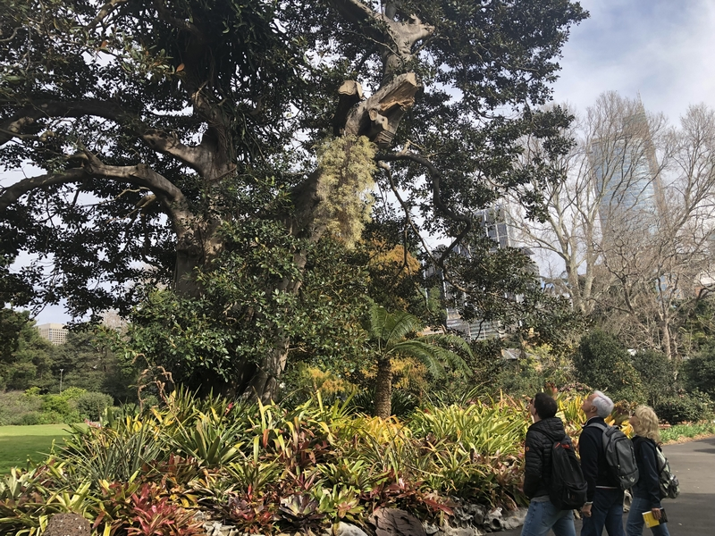 Visitors can see the Rat Tail Orchid just in front of the Palm House, inside Woolloomooloo Gates