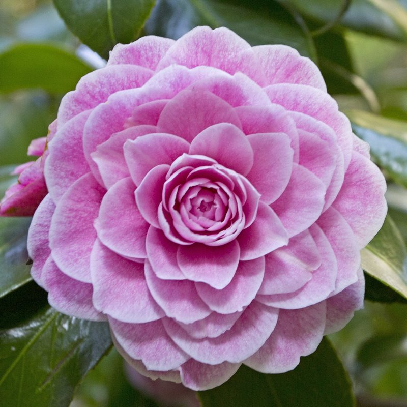 Camellia Virginia Franco Rosea_credit Greg Bourke .jpg