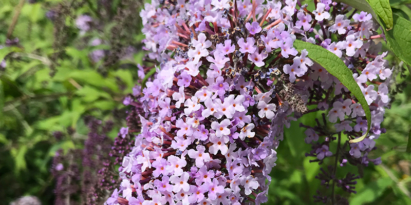 Buddleia 'Wisteria Lane'