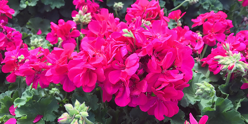 Pelargonium 'Calliope' series also called 'Big Red' or 'Big Pink'