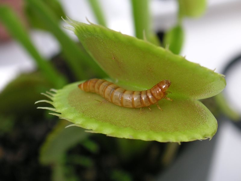 meal worm inside venus fly trap