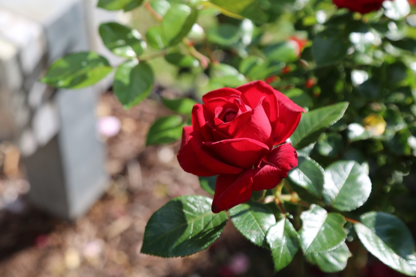 Red Rose at the Royal Botanic Garden Sydney