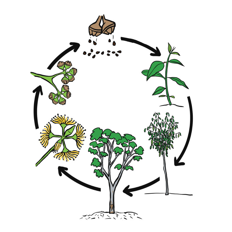 Comic of Red Gum lifecycle