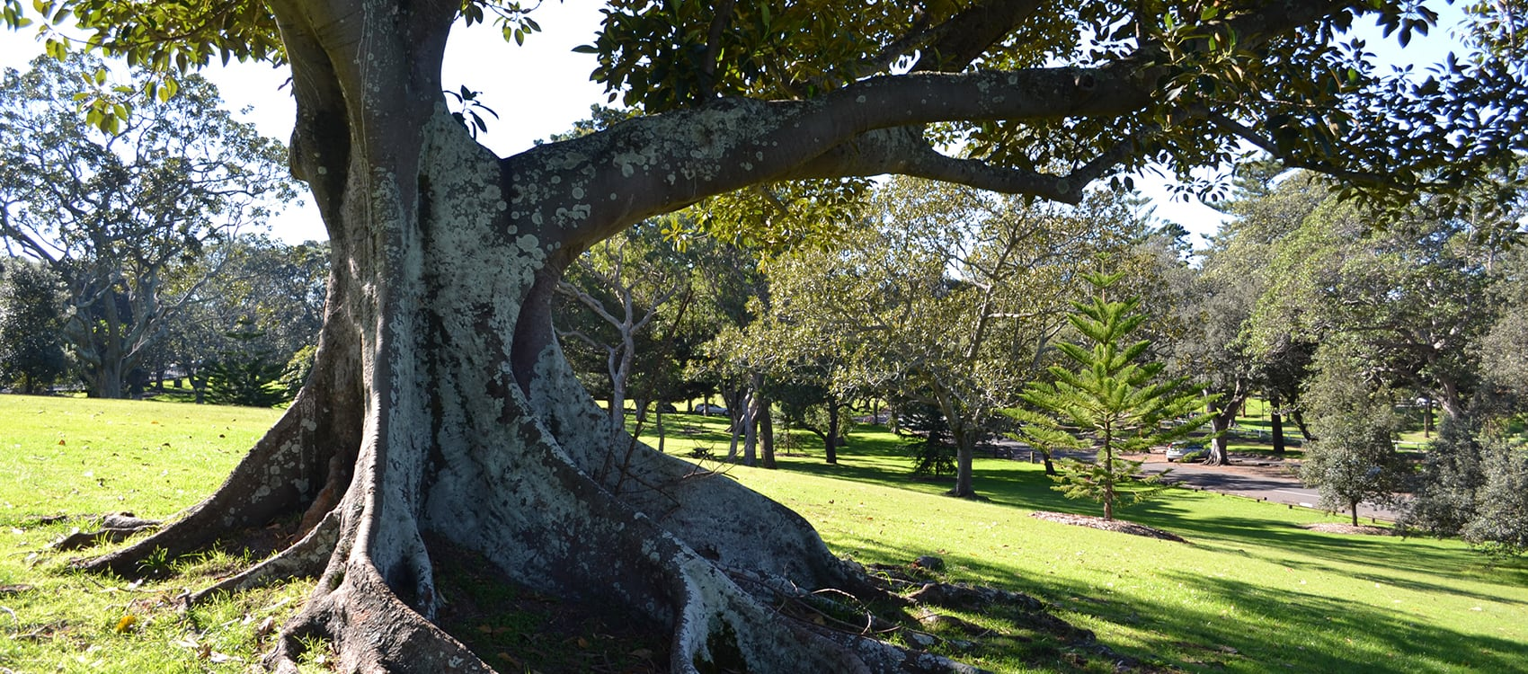 rediscover the significant trees of centennial park centennial