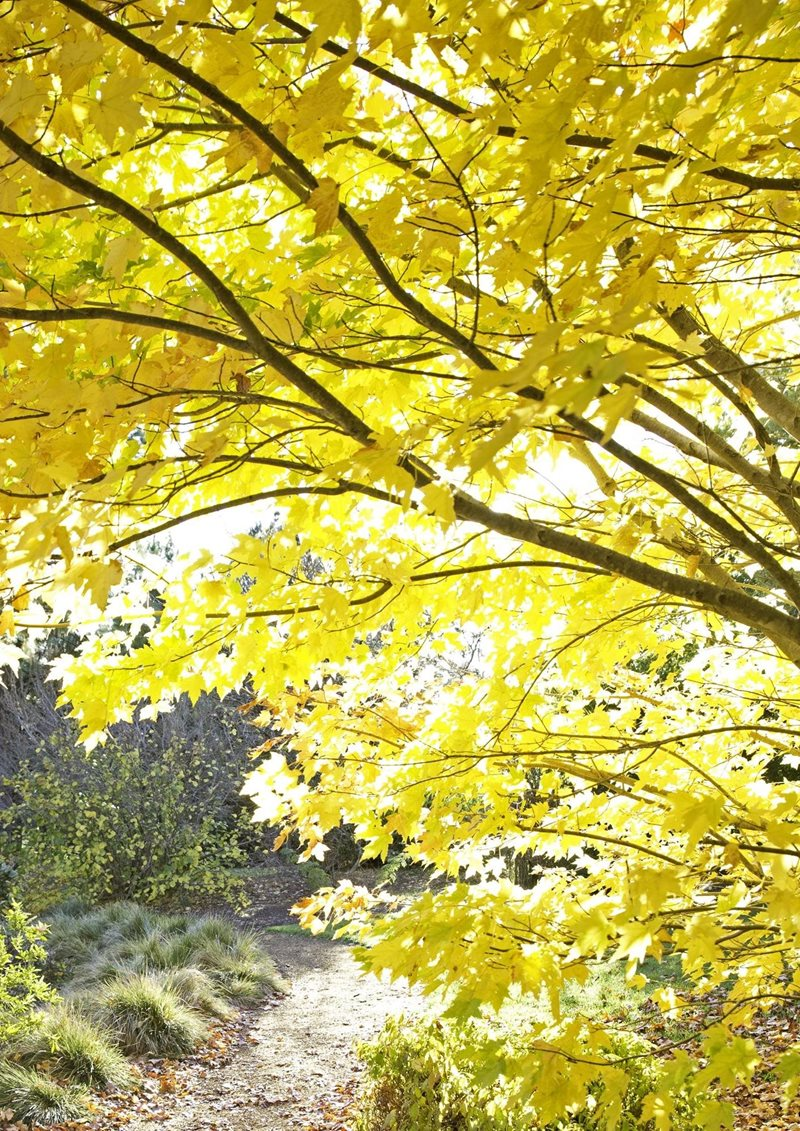 blue mountains botanic garden, mount tomah. maple trees, autumn colours