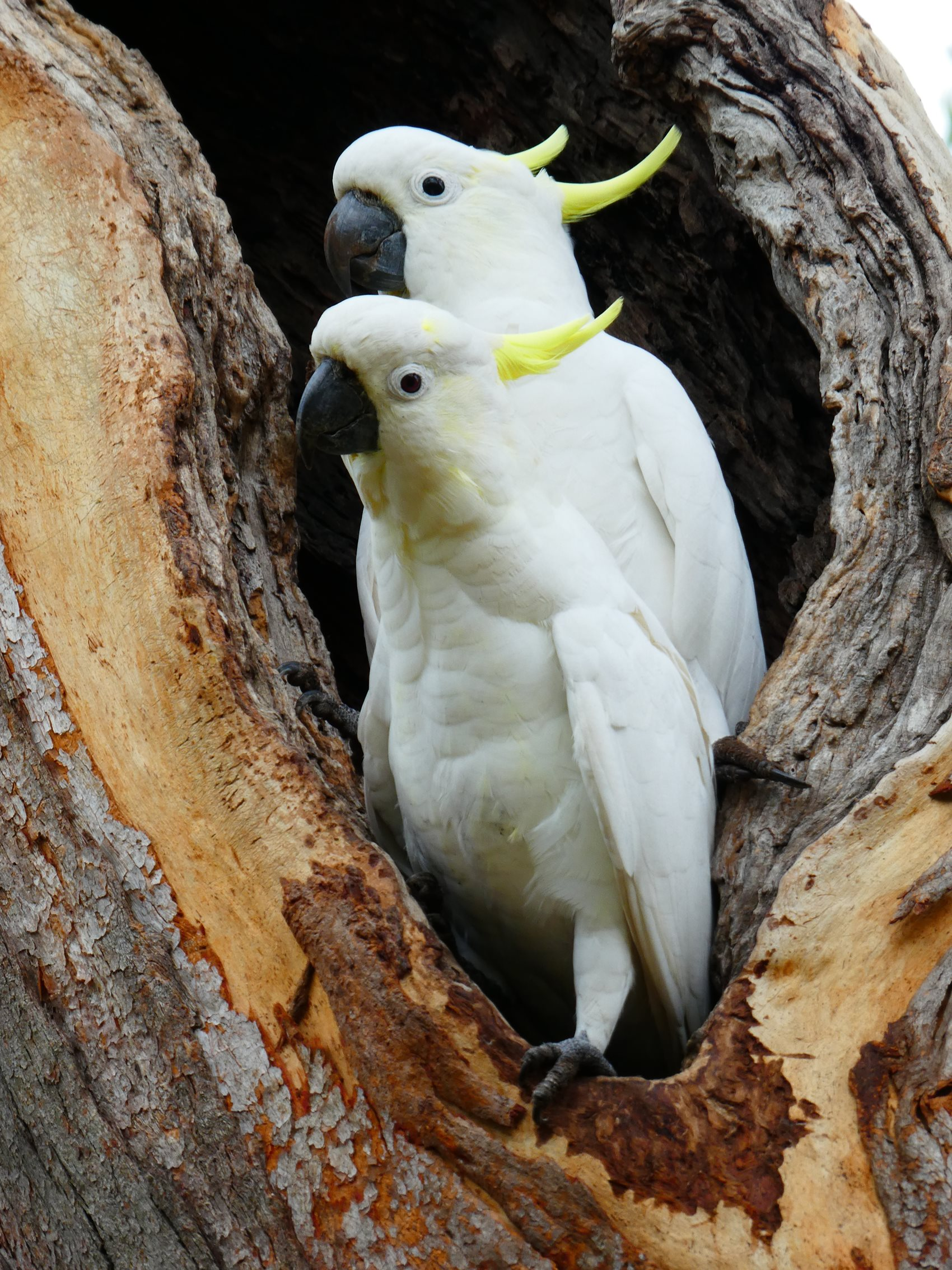 Sulphur-crested cockatoo at hollow Dr John Martin