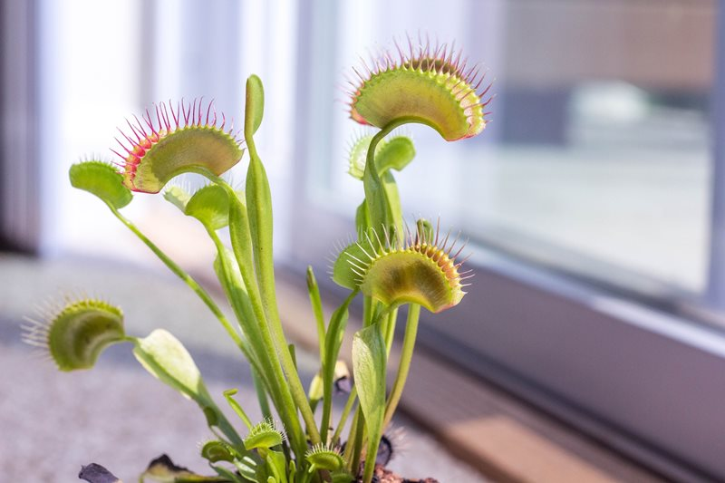 venus flytrap on window