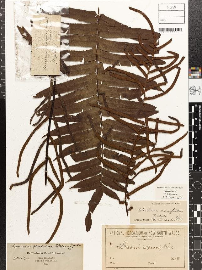 Blechnum camfieldii, one of the 824 plant specimens collected by Joseph Banks and Daniel Solander in 1770 and kept at The National Herbarium of NSW. Picture: Royal Botanic Garden Sydney.