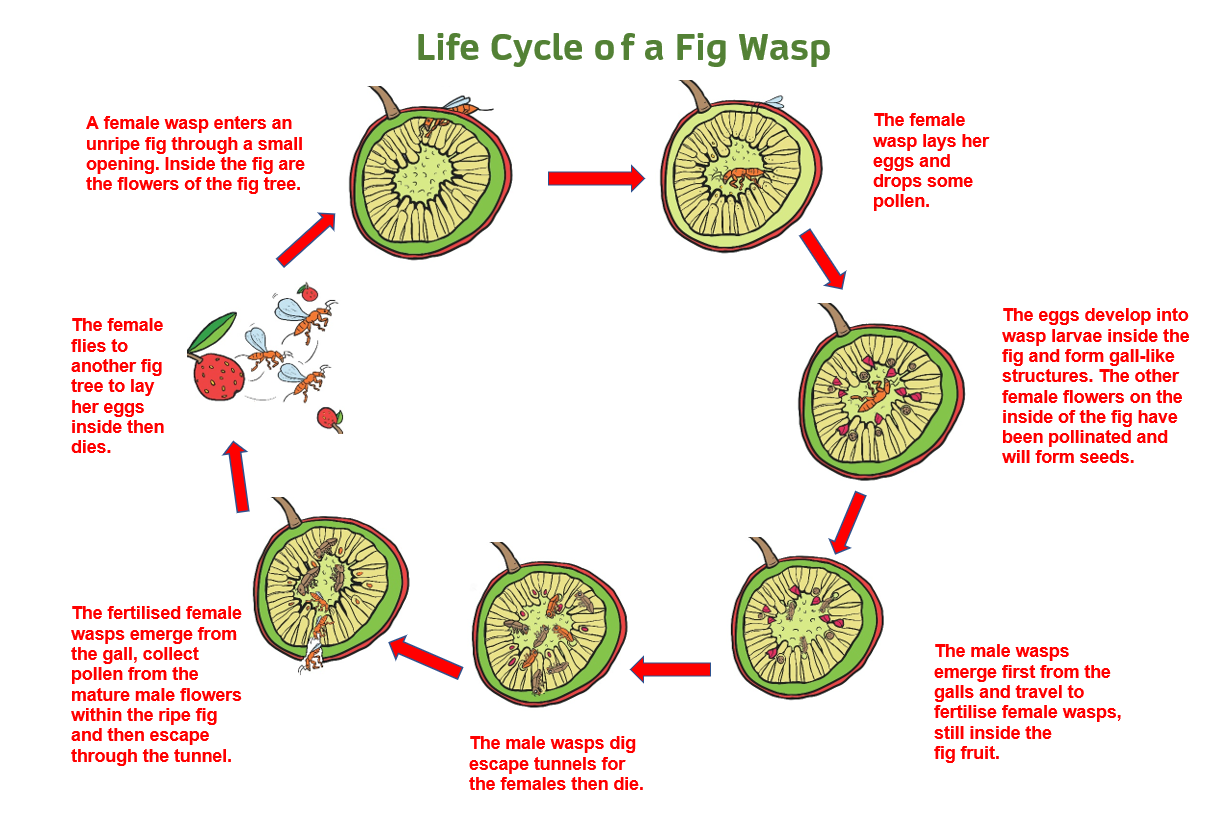 Diagram showing the lifecycle of a fig wasp