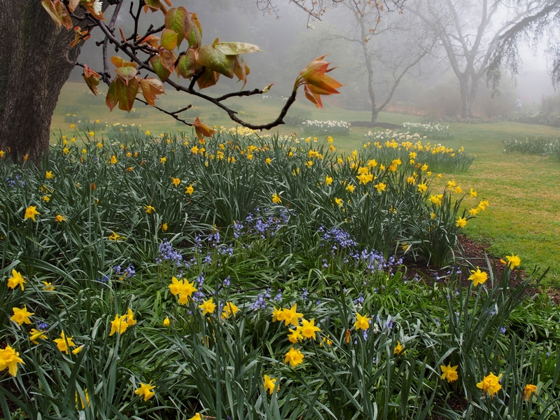 Paul Hubert image of daffodils in the mist