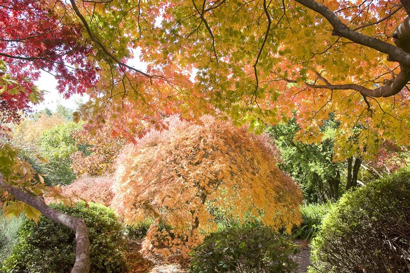 blue mountains botanic garden, mount tomah, autumn colours, maple trees