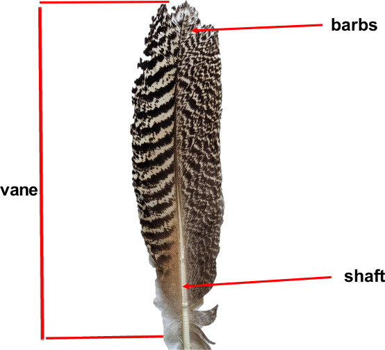 image of a feather with vane, barbs and shaft labelled