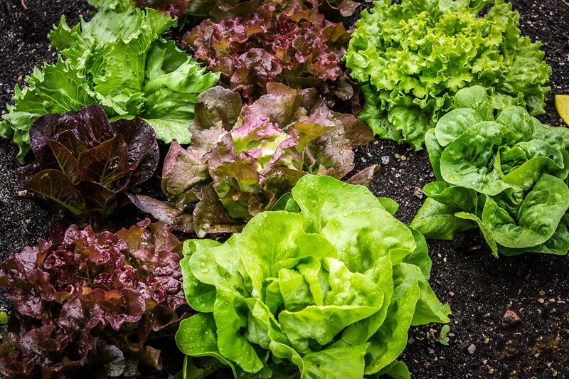 Lettuce growing in vegetable garden