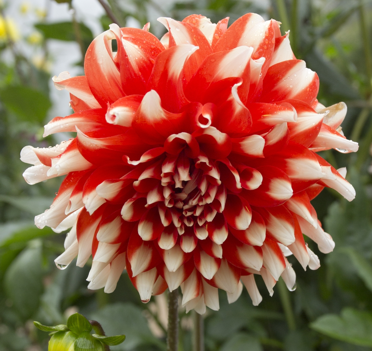 2015_03_31 Blue Mountains Botanic Garden Mount Tomah Dahlia cv Thommo white with red base miniature decorative asteracea