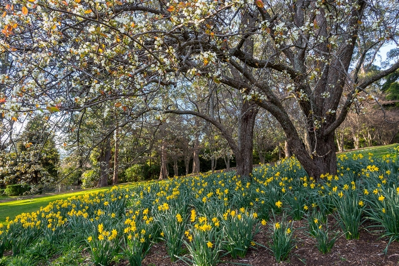 Daffodils in bloom under tree