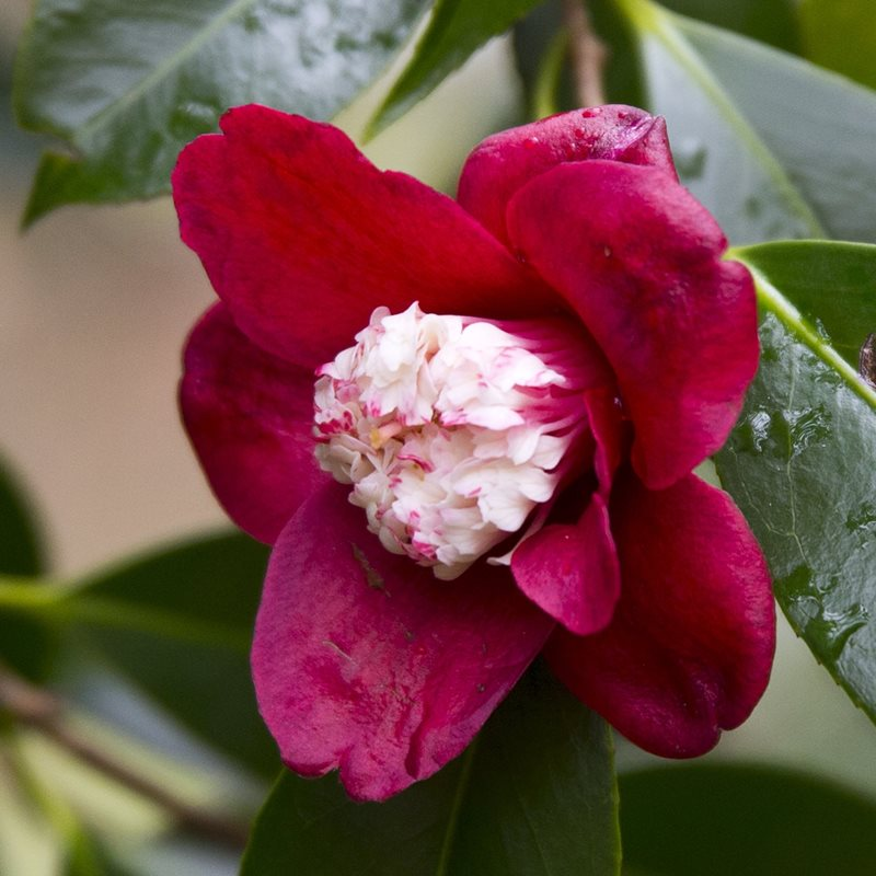 Camellia 2000 year old collected by Bob Cherry Blue Mountains Botanic Garden Mount Tomah_Credit Greg Bourke.jpg